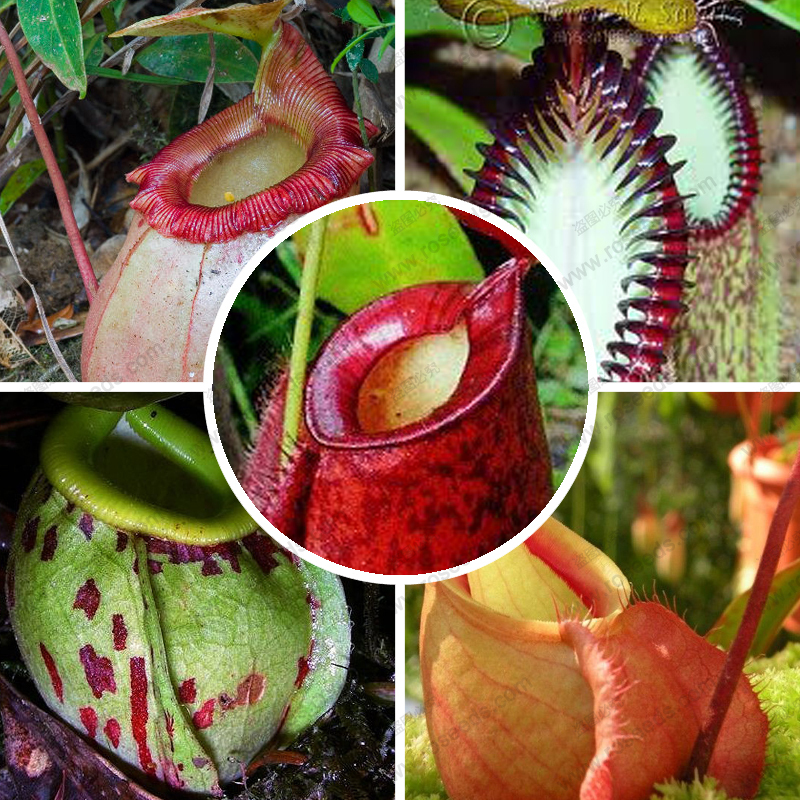 nepenthes plant seeds , seeds Nepenthes carnivorous plant seeds, 50 particles / bag