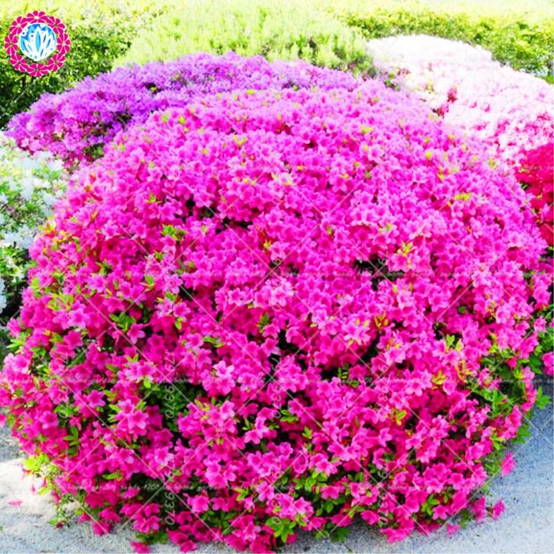 Шт. 100 шт. Sims Азалия Рододендрон simsii бонсай дерево цветок многолетний вечнозеленый кустарник растения DIY домашний сад