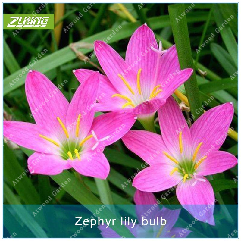 ZLKING 1Pcs Zephyranthes Bulbs Home Garden Hydroponics Flower Plant Not Seeds High Germination Rate Mushroom Zephyr Lily Bonsai