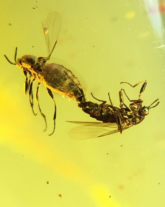 Rare mating Empididae flies Untreated burmite Myanmar Amber insect 100 million years lynx stone from dinosaurs age Cretaceous rare fbig 12mm unknown insect untreated burmite myanmar burma amber insect lynx stone dinosaurs age cretaceous