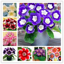 100 Pcs/bag Imported Gloxinia Bonsai Plant Perennial Sinningia Gloxinia Flower Potted Planting for Home Garden Decoration