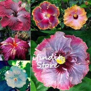 100pcs Hibiscus Flower Bonsai tree Double flap Perennial garden flowers very fragrant plants Gaint Hibiscus for home bonsai