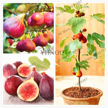 Real chinese fig tree seeds,Bonsai indoor and Outdoor Garden,easy to grow,high nutrition,20PCS(China)