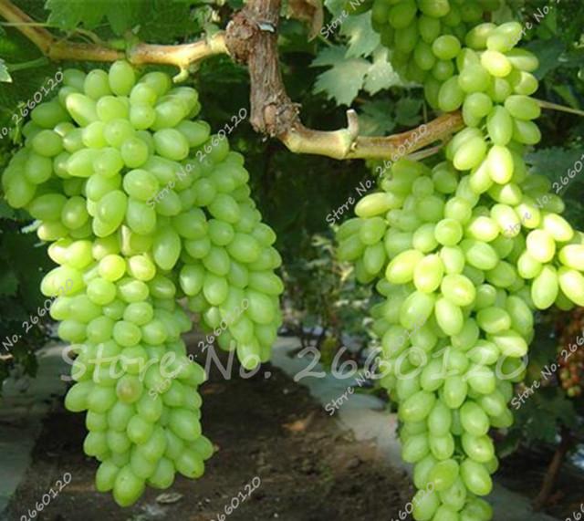 Green Finger Grape Seeds  Natural Growth Grape
