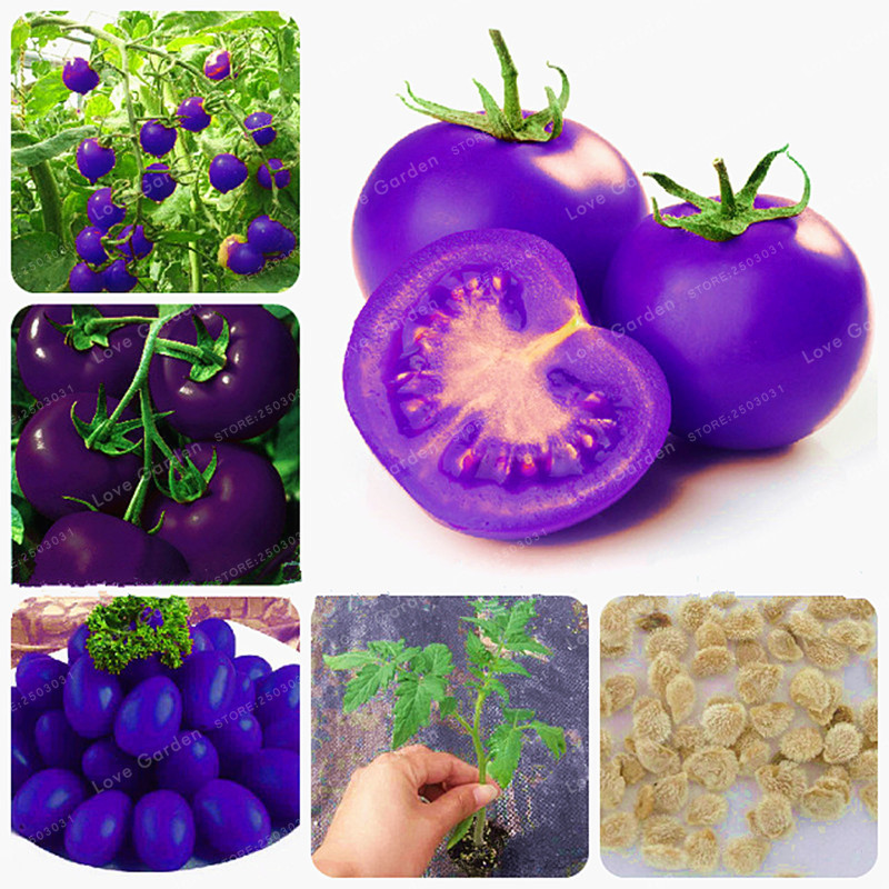 Purple Sacred Fruit Tomato Seeds Vegetables And Fruits Seed For Home Garden Farm Plants Easy To Grow Bonsai 100 Pcs / Packing