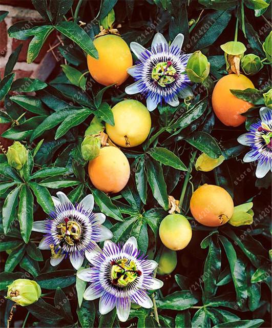 20 pcs/bag passion fruit  Rare flower plant Passiflora  fruit Passion flower  for Home Garden plant