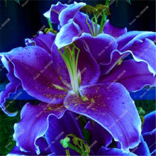 1pcs Lily Bulbs ,Lilium Bulbs, Flower Perennials,Lelies Exotic Indoor Plants Garden Bulbos De Flores Pptted