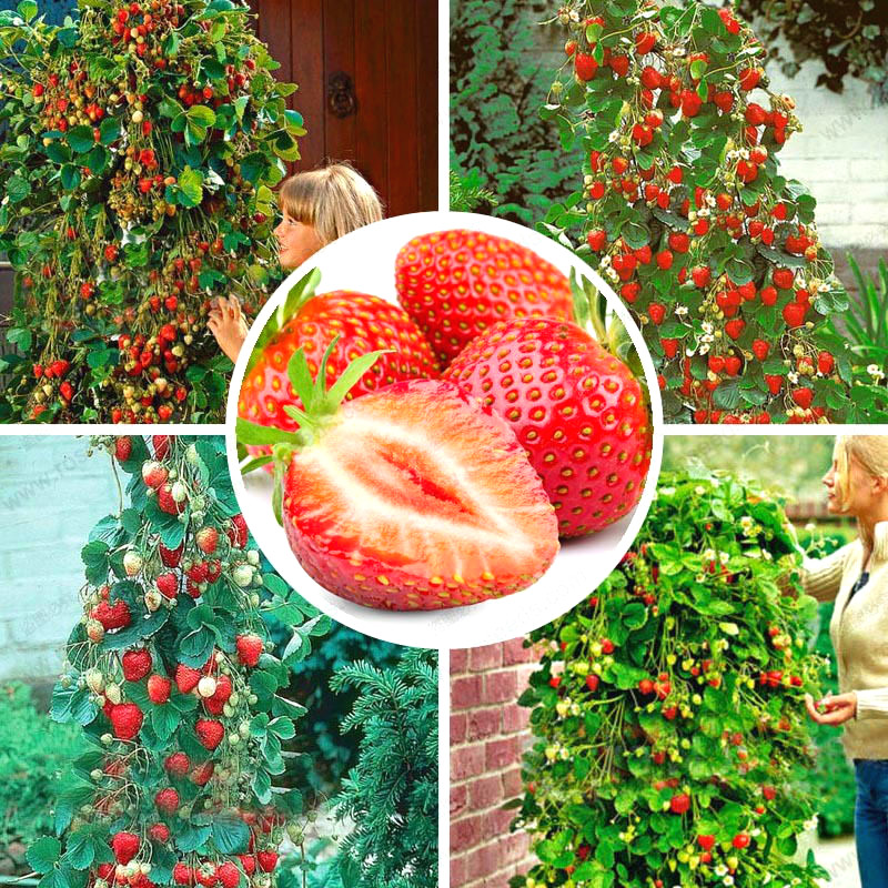 300 Pcs Red Giant Climbing Strawberry Seeds Courtyard Planting Fruit Bonsai Tree For Diy Home & Garden Rare Plants Free Shipping