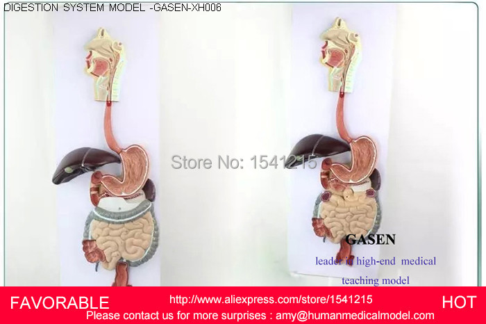 HUMAN DIGESTIVE SYSTEM MODEL,DIGESTIVE TRACT, NOSE PHARYNX AND LARYNX,LARGE INTESTINE,SMALL INTESTINE,STOMACH MODEL-GASEN-XH006 nasal oral pharynx and larynx cavity model nasal model with oral pharynx and larynx respiratory system model