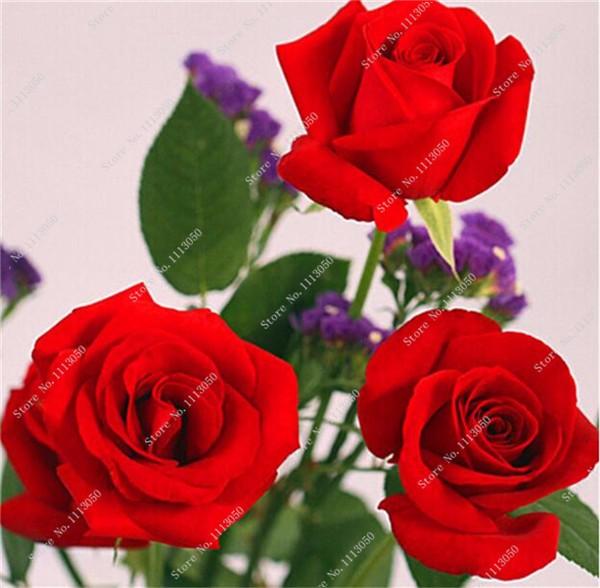 Семена роз многолетних красивых фото