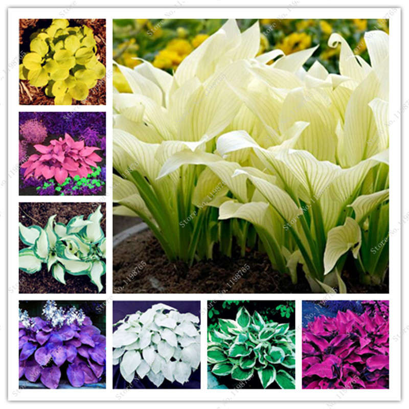 Bonsai 100 Pcs Mixed Hosta Bonsai Jardin Perennials Lily Flower Pot Bonsai White Lace Diy Home Garden Ground Cover Garden Plant(China)