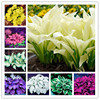 Bonsai 100 Pcs Mixed Hosta Jardin Perennials Lily Flower Pot White Lace Diy Home Garden Ground Cover