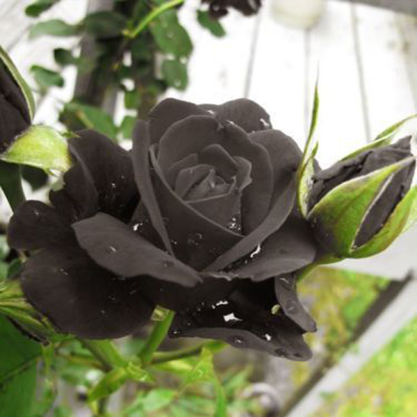 Light black rose seed seed scarcity of rare flowers potted plants bonsai garden terrace courtyard 120PCS
