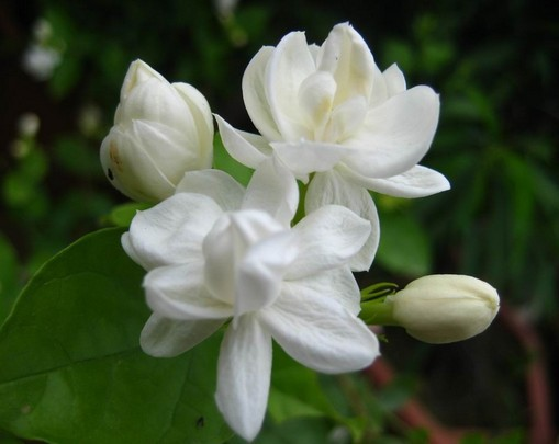 Free shipping 10 pieces white jasmine Seeds  fragrant plant arabian     Free shipping 10 pieces white jasmine Seeds  fragrant plant arabian jasmine  flower seed in Bonsai from Home   Garden on Aliexpress com   Alibaba Group
