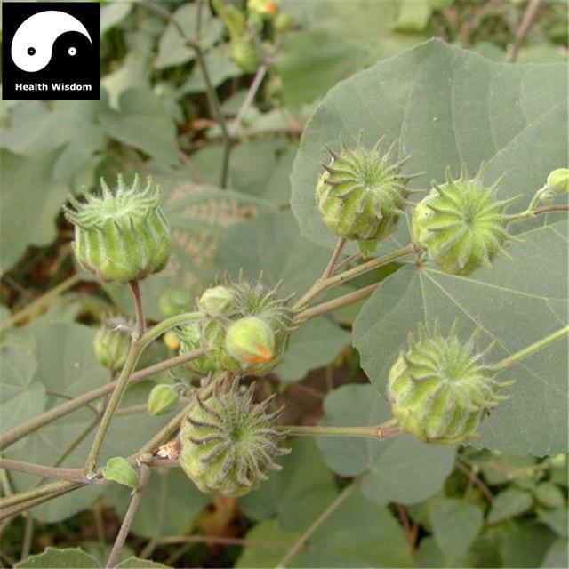Chingma Abutilon Te 400pcs Plant Cer Mallow For Malvae Dong Kui Zi