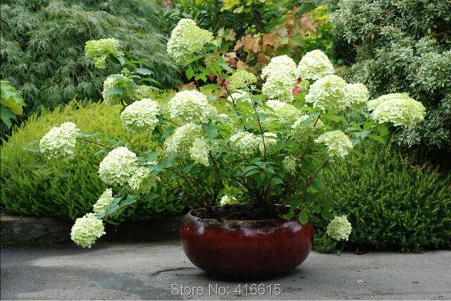 aliexpress koop lacecap hydrangea zaden hortensia paniculata limelight zaden naturia