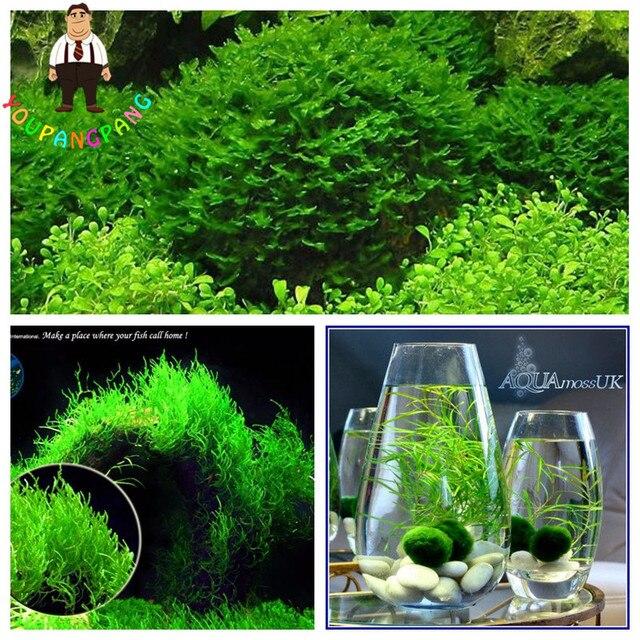 200pcs Moss Live  Aquatic Plants Aquarium Water Grass bonsai flower Landscape Decoration Ornament
