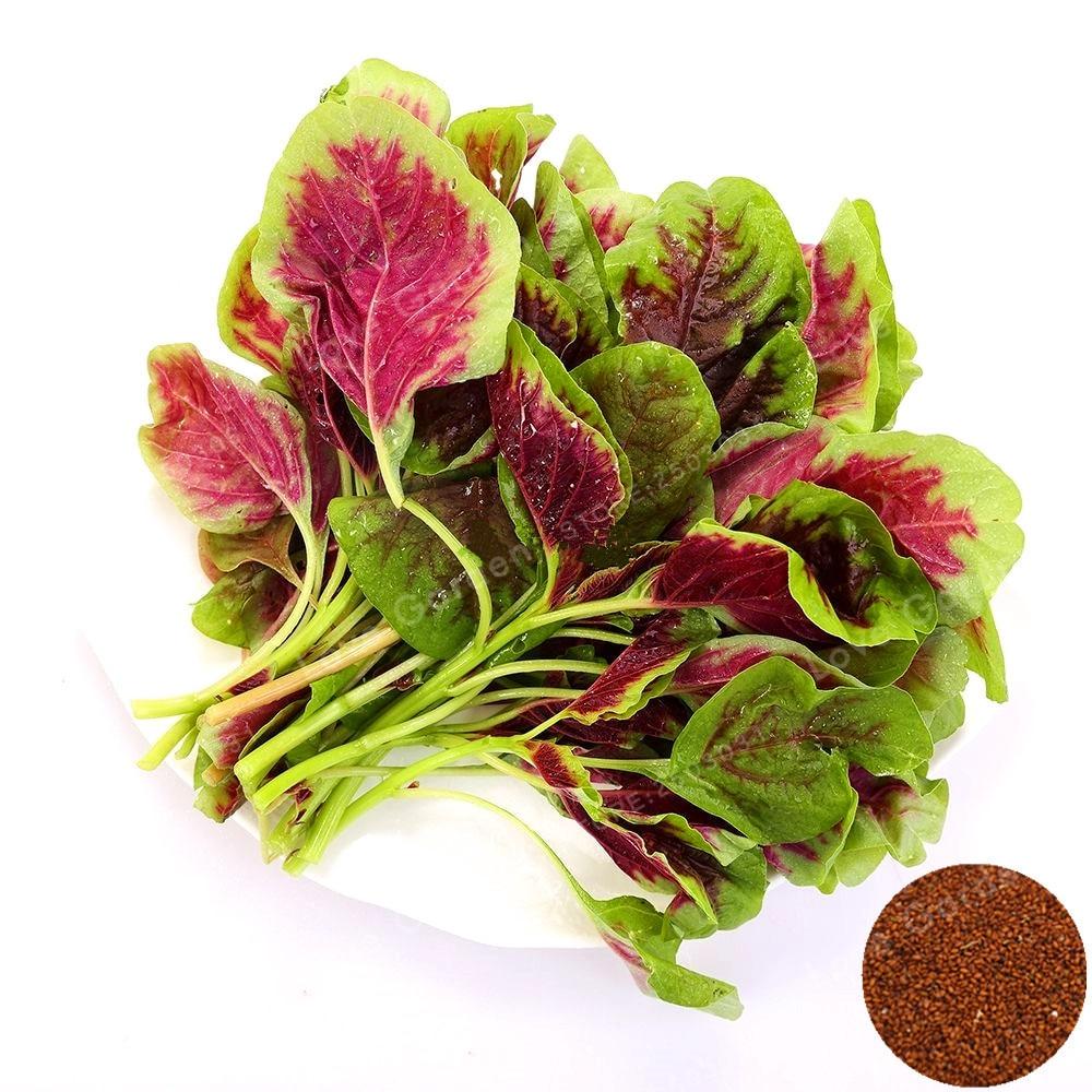 100 stk Amaranth Tricolor Bonsai Tidlig Glans Bonsai Plante Sjældne Grøntsager Bonsai Pot Plante Spiselig Bonsai