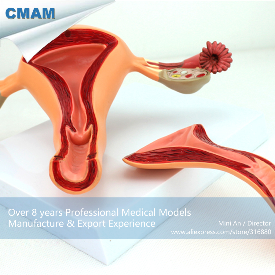 12442 CMAM-ANATOMY04 Uterine Structure Anatomical Model , Anatomy Models > Reproductive system male genital organs male genitalia anatomical model structure male reproductive organs decomposition model