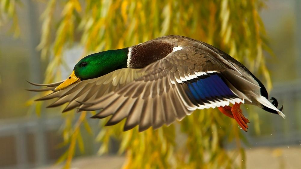 Wild duck flying close up photography living room home wall art ...