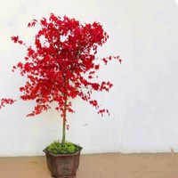 1pcs Red Maple Plants Bonsai True Bonsai tree Maple seedling (Death in transit is not responsible