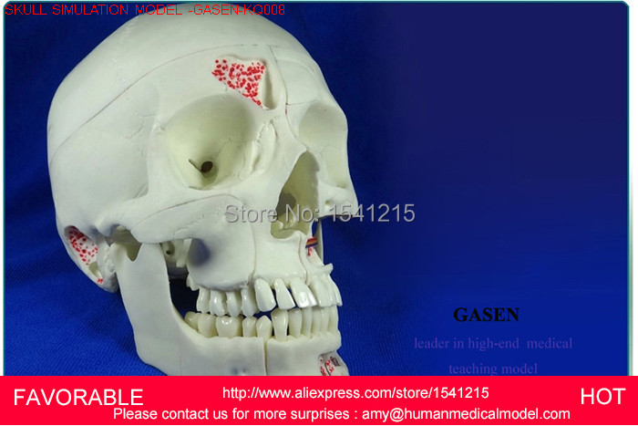 HUMAN ANATOMICAL MEDICAL SKULL,HUMAN SKULL MODEL ,HUMAN SKULL DENTAL TRAINING, NEUROLOGY SKULL SIMULATION HEAD MODEL-GASEN-KQ008 4pc per set human dental anatomical model root canal model