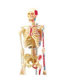 de anatomia humana, novo modelo de montagem de esqueleto 3d.