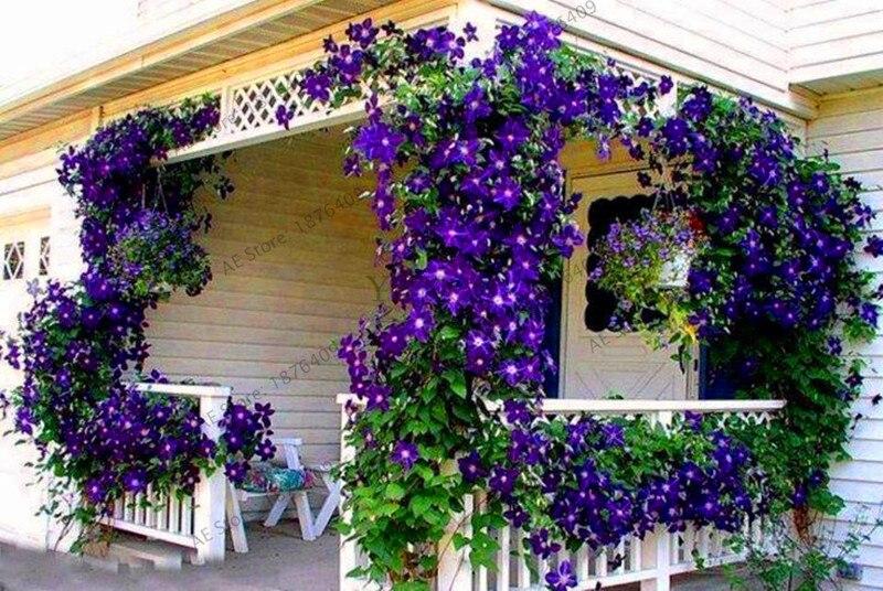 Ny ankomst! Gratis forsendelse, 100 pc'er., Flerfarvet clematis garden, en rigtig sjælden clematis plante Flores, bonsai clematis lampe ...