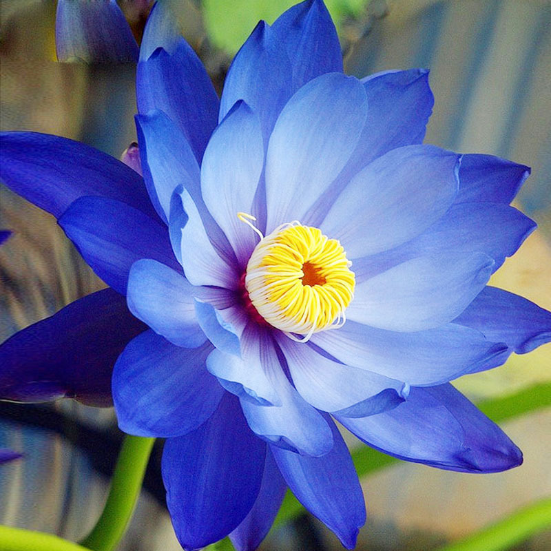 Hot Sale Rare Treasure Blue Bowl Lotus Seeds Balcony Patio Garden Potted Bonsai Plant Seeds Farm Nelumbo Nucifera Seeds 10PCS ...