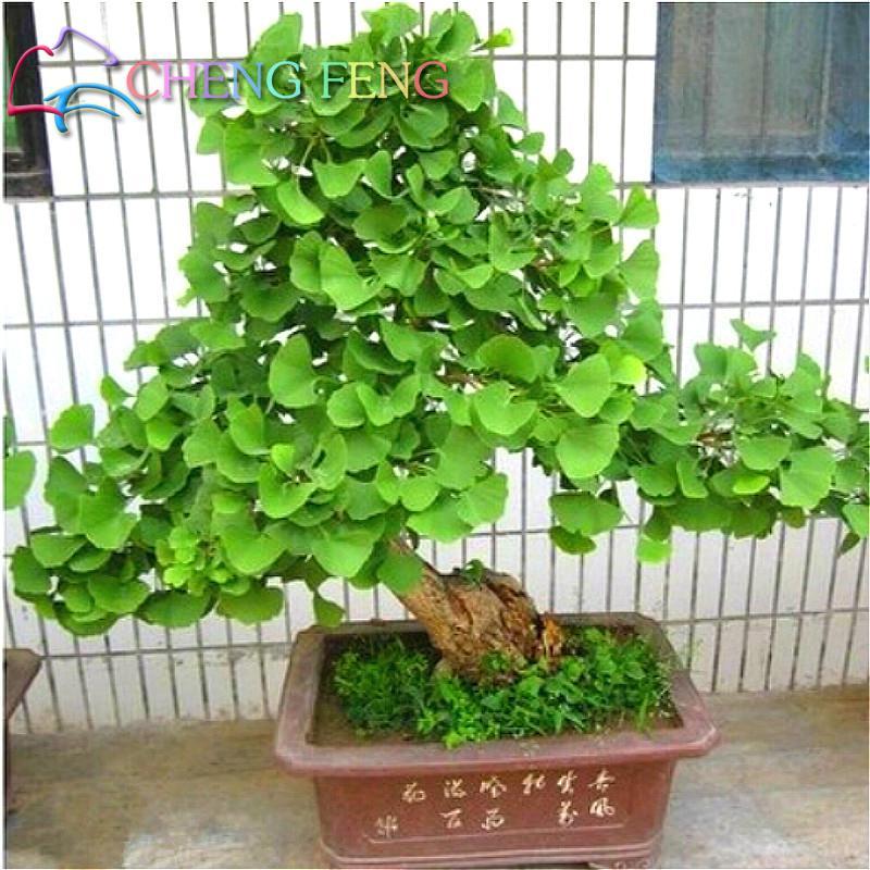 hot sale 5 pcs ginkgo biloba seeds beautiful foliage. Black Bedroom Furniture Sets. Home Design Ideas