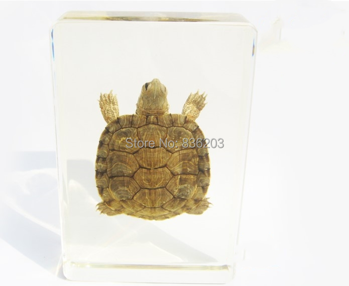 Aliexpress.com : Buy Farmed Turtle Insect Specime in Acrylic ...