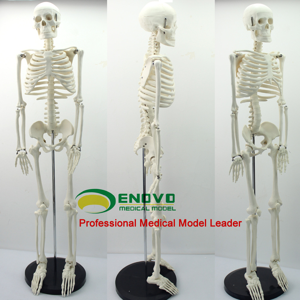 Medical standard 85cm human body skeleton model manikin 3 1 human anatomical kidney structure dissection organ medical teach model school hospital hi q