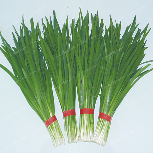 Chinese Chive Bonsai  Garden Potted Leek Plants Bonsai For Home Garden Easy To Grow Vegetables Four Seasons Planting 100 Pcs/bag
