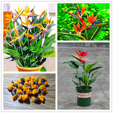 Buy  ise Seed Jardim Bonsai Sementes 2 pcs/pack  online