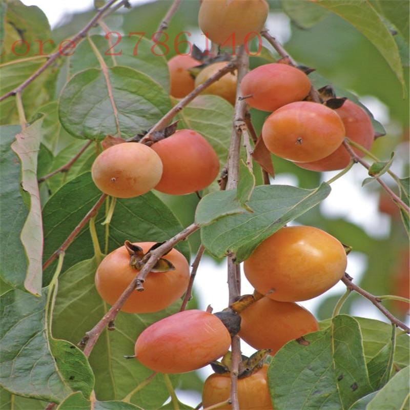 delicious Persimmon Fruit Tree Seeds - Diospyros kaki persimmon seeds Non-GMO fruit seeds high quality home garden plant 30pcs