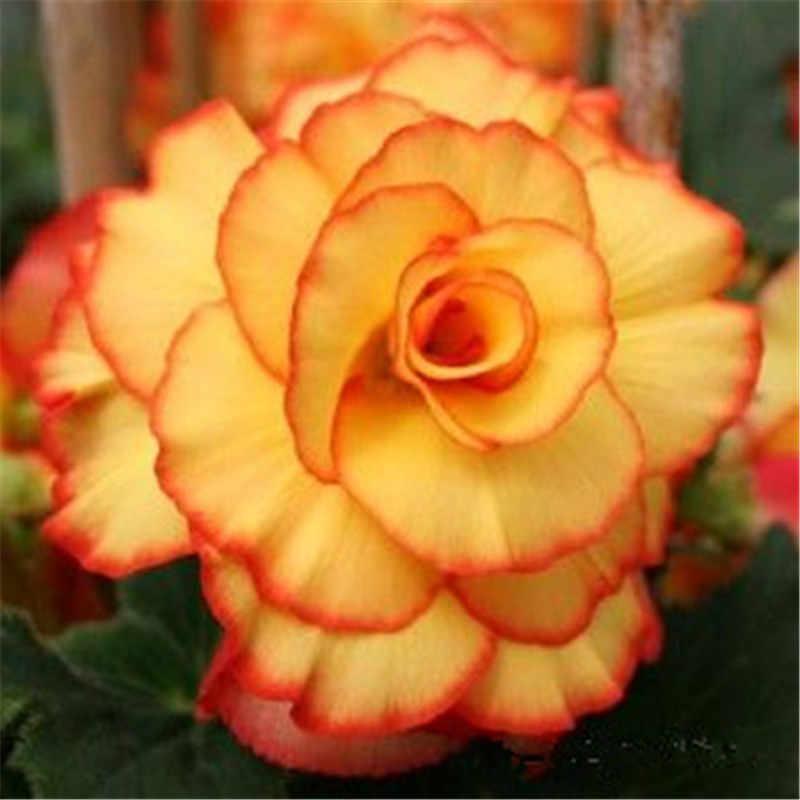 20 ピース混合ベゴニアの花鉢植え盆栽屋内 Decoratie 美しいガーデン壁植物家の装飾クリスマス (海唐)