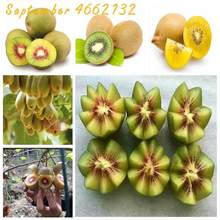 Hot Sale!Lowest Price! 100pcs The king of fruits kiwi yellow flesh kiwi bonsais pot kiwi fruit bonsais big year results(China)