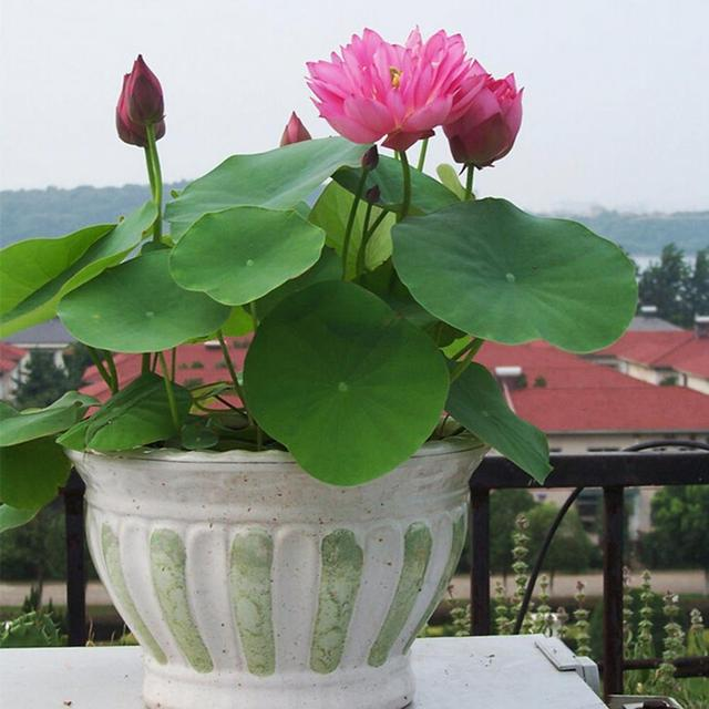 10pcsbag Lotus Seeds Flower Seeds Diy Potted Plants Pot Bonsai Seed