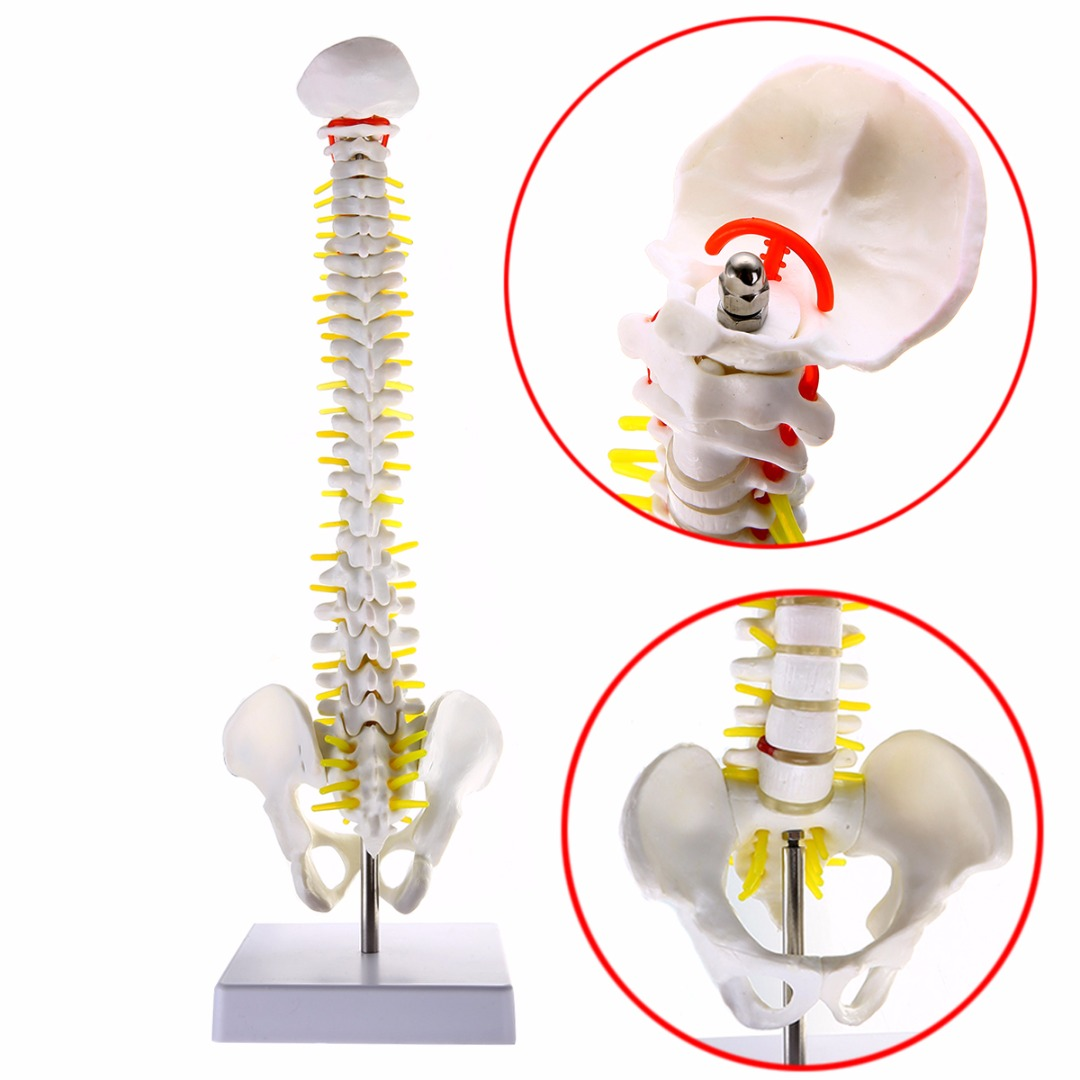 mayitr 450 140mm life size vertebral column human spine with pelvic model anatomical model skeleton fexible stand in medical science from office school  [ 1080 x 1080 Pixel ]