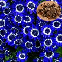 50 Шт./упак. Красочных Семена Примулы Цветов Примула Malacoides Семена Для Дома и Сада