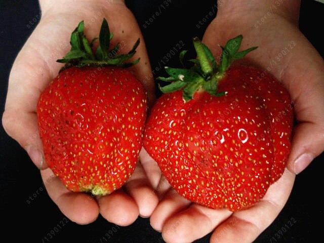 300pcs/bag strawberry seeds giant strawberry Organic fruit seeds vegetables Non-GMO bonsai pot for home garden plant seeds