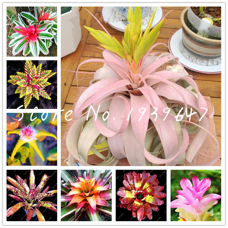 Free Shipping 100 Pcs Bromeliad Tillandsia Bonsai Succulent Fresh Air Plant Lazy Plants Bonsai For Home Garden Very Easy Growing