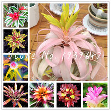 Free Shipping 100 Pcs Bromeliad Tillandsia Bonsai Succulent Fresh Air Plant Lazy Plants Bonsai For Home Garden Very Easy Growing(China)