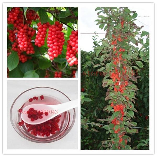 100 pcs schisandra Seeds, tree fruit bonasi tree for DIY Home Garden Plant Chinese Magnolia Vine Edible Fruit Seeds