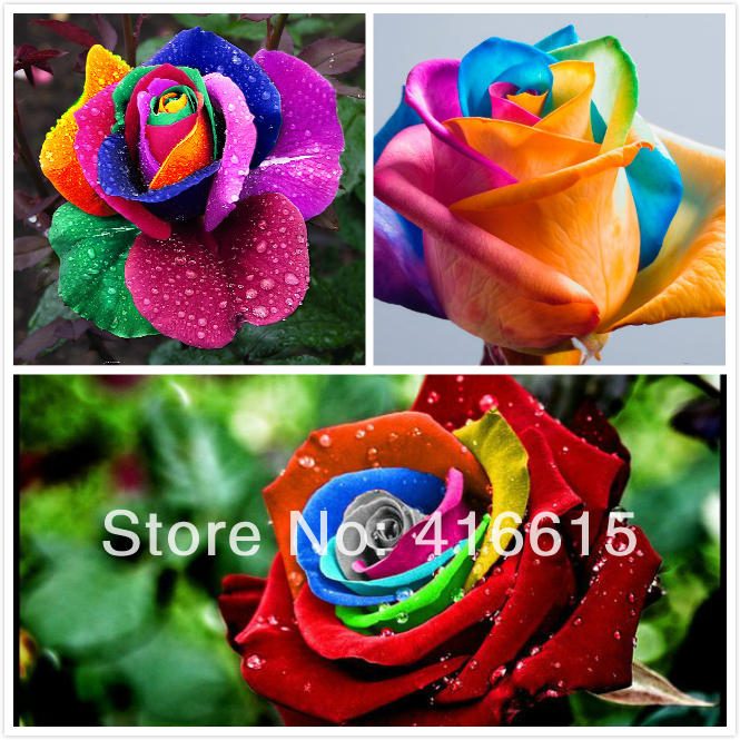 Buy 300 mystic rainbow rose bush flower for Growing rainbow roses from seeds