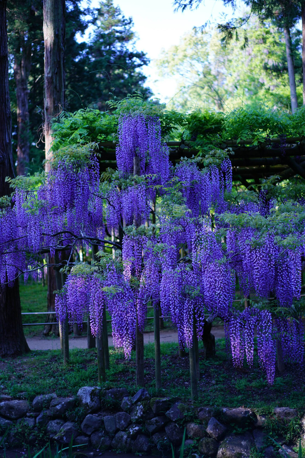 Large climbing wicker plant 10pc blue purple wisteria tree seed large climbing wicker plant 10pc blue purple wisteria tree seed garden most beautiful flowers in bonsai from home garden on aliexpress alibaba izmirmasajfo Images