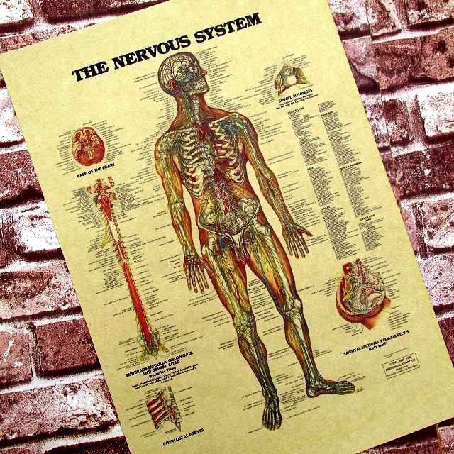 Стикер стены плакаты для стен Человека Нейронных Фигурой В Классе Английского Языка Украшения Медицинской Висит Картина Крафт-Бумага Плакат