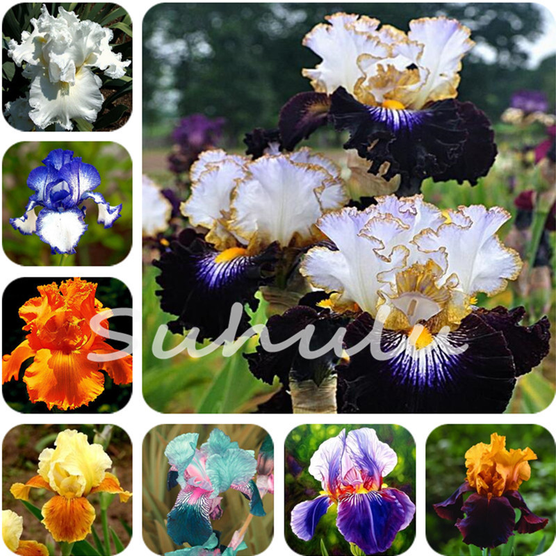 200 pz alberi nani iris fiore fiore perenne fiore raro barbuto iris, piante naturali fiore orchidea fai da te per il giardino pulito ...