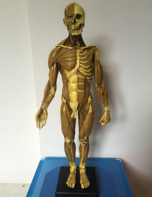 16 30cm L Human Anatomy Malefemale Flesh Anatomy Comparative