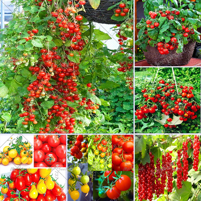 100PCS Climbing Tomato Tree Seeds Fruit And Vegetable Seed For